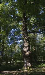 beauty often lies in imperfection - HTT! (lunaryuna) Tags: forest woods langleywood newforest oaktree beauty imperfection thebeautyoftheimperfect nature summer season seasonalwonders treemendoustuesday htt lunaryuna