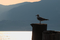 Lac de Garde (Jean-Franois Chamberlan) Tags: lacdegarde mouette fujixt10
