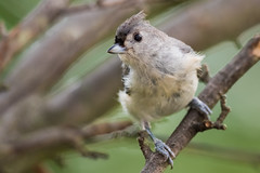 Tufted Titmouse (8-17-16) (ryan11-17) Tags: bird titmouse tuftedtitmouse bokeh