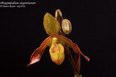 Phragmipedium sargentianum (Mauro Rosim) Tags: orchid orqudea flower flor terrestre terrestrial sapatinho slipper