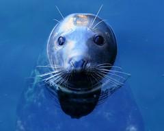 Casi humana (alfonsocarlospalencia) Tags: foca ojos azul mirada ternura bigotes transparencia reflejo cabeza bondad pelos dibujos luz manchas santander palacio de la magdalena tristeza