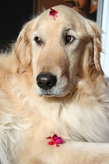 Sunny 38/52 (Lianne (calobs)) Tags: goldenretriever 52 weeks for dogs