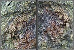 Huellas Dactilares (Caro Rolando) Tags: diptico madera arbol rbolseco color colores tronco