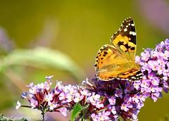 Fotografando le farfalle al Campo dei Fiori \\ Photographing butterflies at Campo dei Fiori (sarettacavallini) Tags: naturephotography parco lombardia italia italy naturelover nature butterfly farfalla macrophotography macro macrofotografia nikonitaliaofficial nikonitalia