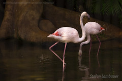 Flamingo Chileno (Stefan Lambauer) Tags: flamingochileno flamingo ave fozdoigua parquedasaves birds tourism turismo parquenacionaldoigua stefanlambauer 2016 brasil brazil paran br
