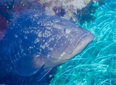 P9240186-2 (juredel) Tags: mrou juredel olympus corb oxygene plonge diving scull scubadiving scuba wallpaper la vacca lavacca cerbicales ilescerbicales