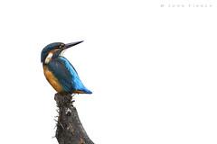 Kingfisher (John Finney) Tags: kingfisher onwhite highkey wildlife sigmasport 150600mm