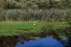 Heron on the lake (Julia Livesey) Tags: birds heron lake uptoncountrypark