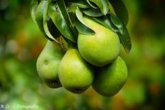 Birnen / Pears (R.O. - Fotografie) Tags: birnen pears baum tree obst fruit grn green bokeh outdoor natur nature panasonic lumix dmcfz1000 dmc fz1000 fz 1000 bad driburg closeup close up birnenbaum peartree