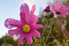 flower (Tsorri) Tags: flower tahmela syksy nikon d5300