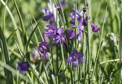 Common Camas (David Badke) Tags: flower plant oakbay bc