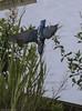 Kingfisher2 (lorrainejubb) Tags: kingfisher oldmoor rspb diving catchingfish
