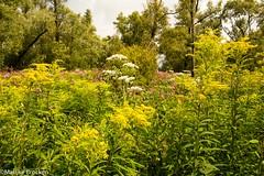 IMG_9124 (m.mosheuvel) Tags: 2016 biesbosch marlijn bloemen boot insecten natuur