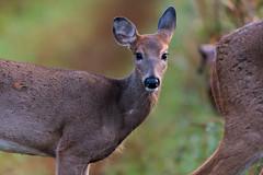 Burred (jmishefske) Tags: nikon yearling burr d500 wildlife whitetail doe 2016 tick deer september