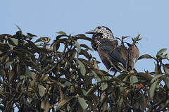 Spotted nutcracker (belgobreizh) Tags: nepal novembre nutcracker oiseau 2012 npal nucifragacaryocatactes singalila spottednutcracker notenkraker cassenoix nocciolaia cassenoixmouchet