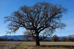 Valley Oaks II (Ned Lewis) Tags: oaks x100