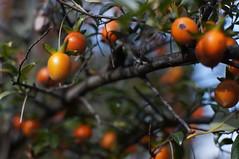 Diospyros cathayensis -  (turntable00000) Tags: china park orange plant japan garden botanical photography tokyo sony 365 persimmon  bunkyo  takashi koishikawa nex  366  kitajima  turntable00000