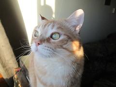 Caro devant la fentre (chanelchat Rachel) Tags: cats pets canon kittens greeneyes caro tigercats chanelchat