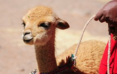 A feisty young Llama. (john a d willis) Tags: peru llama youngster spitting sillustani