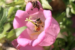 IMG_1574 (sclereid0309) Tags: bee honey honeybee  pollination