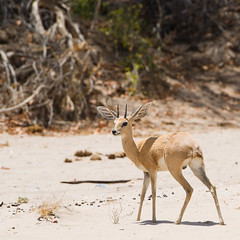 "Steenbok on Ephemeral River, Namibia • <a style=""font-size:0.8em;"" href=""https://www.flickr.com/photos/21540187@N07/8291794995/"" target=""_blank"">View on Flickr</a>"
