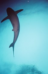 Grey Reef Shark, Roatan (clear_eyed_man) Tags: travel