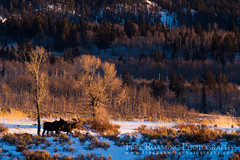 Cow and Calf Moose on Snowy Hill (Free Roaming Photography) Tags: trees winter usa foothills mountain snow mountains cold west animal animals pine female forest mammal cow nationalpark woods child adult wildlife hill young mother moose hills explore cottonwood northamerica wyoming aspen calf mammals grandteton jacksonhole wander sagebrush grandtetonnationalpark lodgepole grosventre antelopeflats grosventremountains grosventres