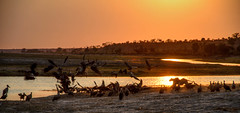 """Sunrise with Lion Kill in Chobe National Park Botswana • <a style=""""font-size:0.8em;"""" href=""""https://www.flickr.com/photos/21540187@N07/8293282821/"""" target=""""_blank"""">View on Flickr</a>"""