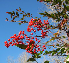 Festive and bright (livingglassart home of oddballs and oddities) Tags: december redberries nandinadomestica heavenlybamboo