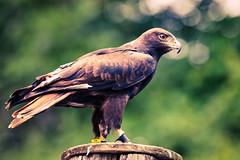 Egyptian Vulture - Side (Eric Kilby) Tags: bird stone zoo massachusetts side egyptian vulture