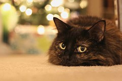 Still Waiting (~ Liberty Images) Tags: christmas pet cat lucy feline puff tortie