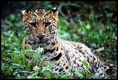 Leopard (Midhun Manmadhan) Tags: