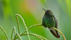 Golden-crowned Emerald Hummingbird (Raymond J Barlow) Tags: green nature costarica hummingbird wildlife 200400vr nikond300 naturesharmony raymondbarlowtours