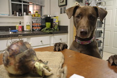 Can I eats that? (AlexRuz) Tags: dog mutt gabby curious chesapeake chessie thelittledoglaughed