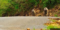 Curious baboons | Ciekawskie pawiany