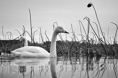 Wintering spot. (K16mix) Tags: winter lake nature japan landscape swan asia lotus swamp     miyagi tohoku  touhoku    izunuma     ramsarconvention tomeshi  kuriharashi gettyimagesjapan12q4