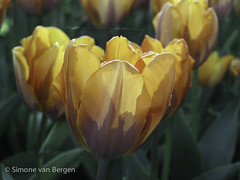 "Orange and Red Tulip • <a style=""font-size:0.8em;"" href=""http://www.flickr.com/photos/44019124@N04/8310980332/"" target=""_blank"">View on Flickr</a>"