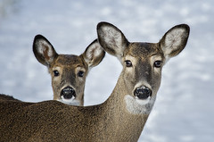 Double Deer (mizzginnn) Tags: park baby snow mom couple metro whitetaildeer sidecut nikond7000