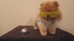 ringing in the new year! (Pomaroo) Tags: sunglasses video bell treat trick pomeranian flint happynewyear ringing mvi1134