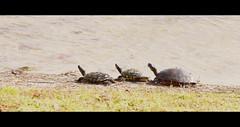 Barber Park (VinceFL) Tags: nature landscape nikon seagull turtles oxidation waterfountain vignette orlandoflorida barberpark manfrottotripod nikon18105mm tamronaf7030mmf456dildtelephotomacrolens nikond7000 vincefl