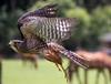 Falcon in Flight (Nita J Y) Tags: newzealand nature birds canon fly rotorua farm falcon northisland endangered takeoff sanctuary hunt birdofprey falconry bayofplenty falconovaeseelandiae kārearea nitaw
