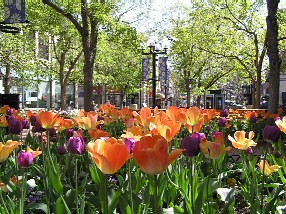 Photo - Tulips on Pearl