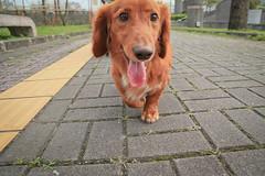 IMG_2420 (Taipei street life) Tags: life dog pet canon photography photo taiwan sigma dachshund taipei 1770