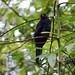 Uccelli nel parco metropolitano di Panamà