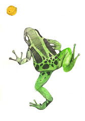 One Green Frog and a Bell (Philipp Zurmoehle) Tags: animal animals illustration pencil watercolor pond artwork bell drawing aquarelle drawings frog frogs watercolour colored coloured