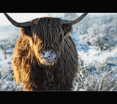 Hairy Coo In The Snow! (Samantha Nicol Art Photography) Tags: winter portrait hairy snow art tongue scotland cow horns highland samantha nicol