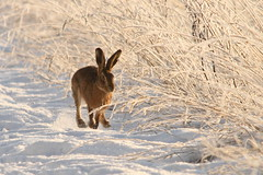 Traction control.Brown Hare (trickydicky1964) Tags: winter brown snow male nature countryside hare wildlife north norfolk explore 7d handheld mating british mammals hares brownhare europaeus lepus 2013 sigma150500mmf563dgoshsm glavenvalley trickydicky1964