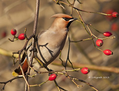Waxwing (Glesgastef) Tags: city uk winter bird nature scotland berry glasgow wildlife centre bohemian waxwing migrant scandanavia maigrate