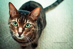 Spotted (Zo0Bear) Tags: pictures orange pet cute green beautiful closeup cat cutout fur mammal gold eyes kitten feline close background stripes space empty tabby tiger ta