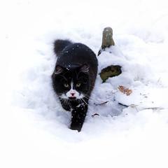 Lucy's first adventure outside (hehaden) Tags: winter blackandwhite snow cat garden square kitten kitty tuxedo semilonghair